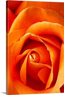Orange rose close up with dew