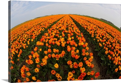 Orange Tulip Fields In North Holland In The Netherlands