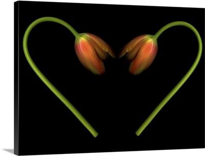 Orange tulips on black background in shape of heart.