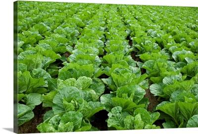 Organic lettuce farm, Aichi Prefecture, Japan