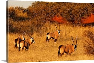 Oryx in Kalahari Desert at sunset - Namibia