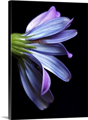 Osteospermum with black cardboard as background.