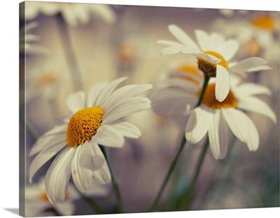 Oxeye daisy flowers.