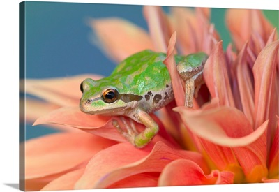 Pacific Tree Frog In Dahlia