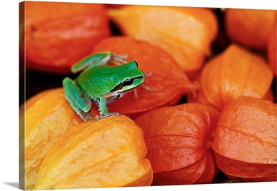 Pacific Tree Frog On Chinese Lantern Flowers
