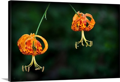 Pair of native California Leopard Lilies found deep in shade of Coast Live Oaks.