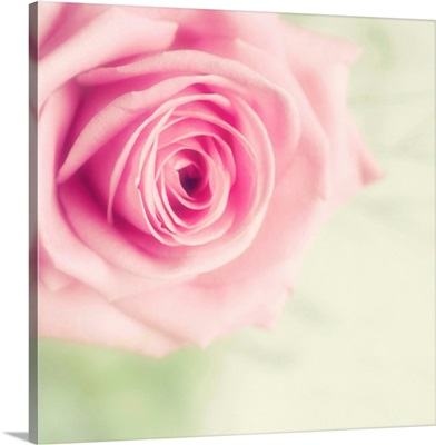 Pale pink rose with pale green background.