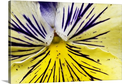 Pansy flower detail.