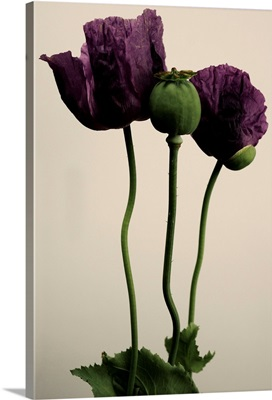 Papaver somniferum flower.