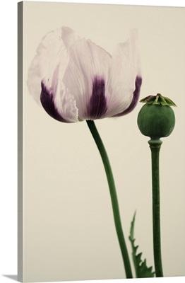 Papaver somniferum 'Izmir Bush Poppy'.