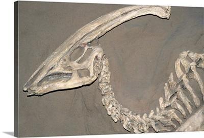 Parasaurolophus Dinosaur Fossil