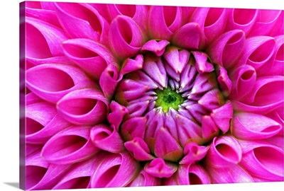 Petal detail from heart of pink dahlia blossom.