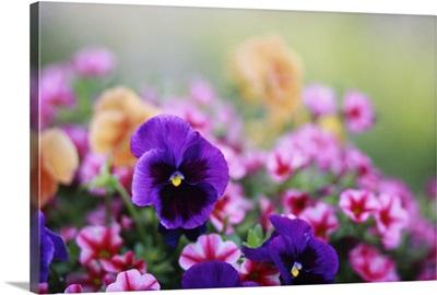 Petunias and Pansies in the spring