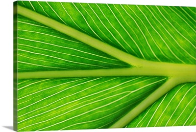 Phylodendrum leaf