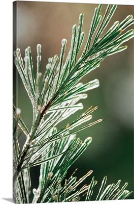 Pine needles coated in ice
