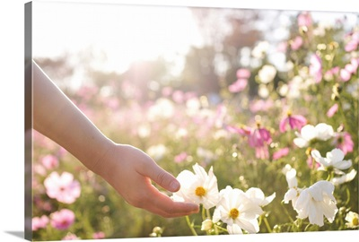 Pink and white cosmos flower field with hand.
