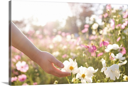 Pink and white cosmos flower field with hand wall art canvas pink and white cosmos flower field with hand mightylinksfo