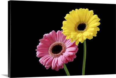 Pink and yellow gerbera on black background, close-up.