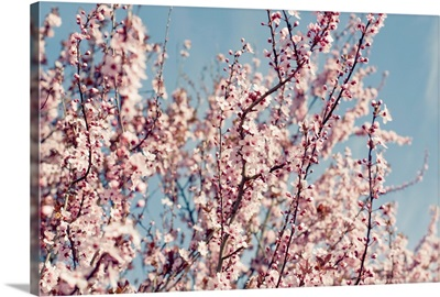 Pink blossom trees against sky.