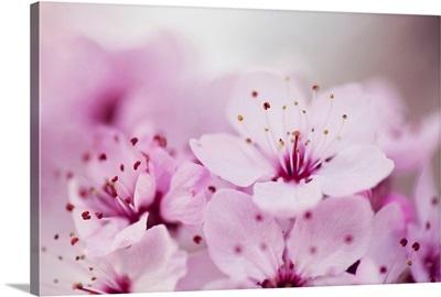 Pink Cherry blossom.