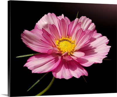 Pink cosmos flower against black background.