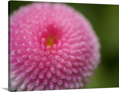 Pink daisy flower.