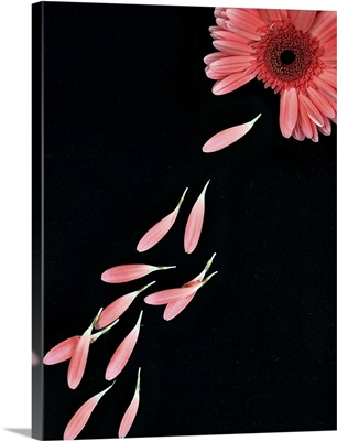 Pink flower with petals on black background.