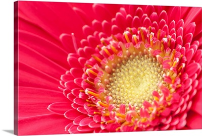Pink gerbera daisy extreme close up.