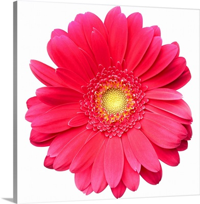 Pink gerbera daisy isolated on white.