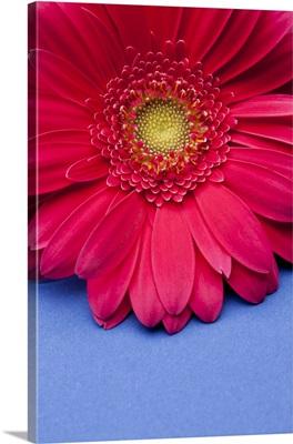 Pink gerbera daisy on blue background.