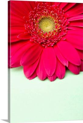 Pink gerbera daisy on light green background.