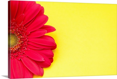 Pink gerbera daisy on yellow background.