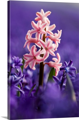 Pink Hyacinth In Field Of Blue Hyacinths