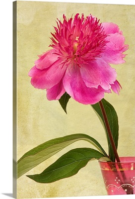 Pink Peony flower in an antique, pink, glass vase.
