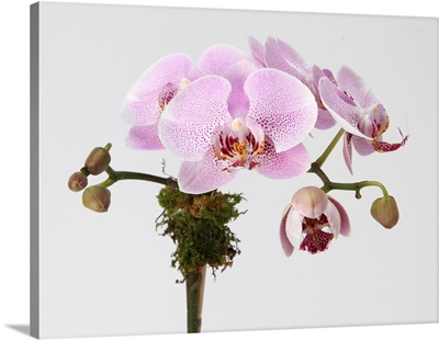 Pink phalaenopsis orchid spray