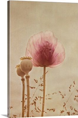 Pink poppy with textured background.