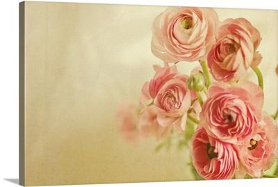 Pink ranunculus bunch of flower.