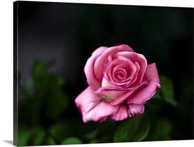 Pink rose against dark background.