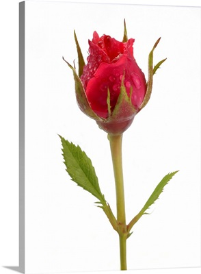 Pink rose bud with water drops, on a white background