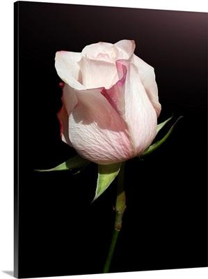 Pink rose on black background.