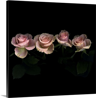 Pink roses on black background.
