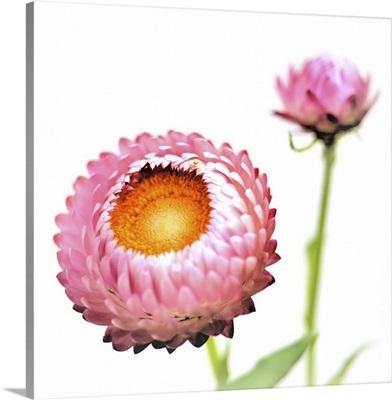 Pink Strawflowers, Japan