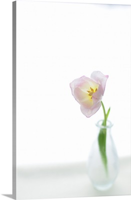 Pink tulip in glass vase on white background, Netherlands.