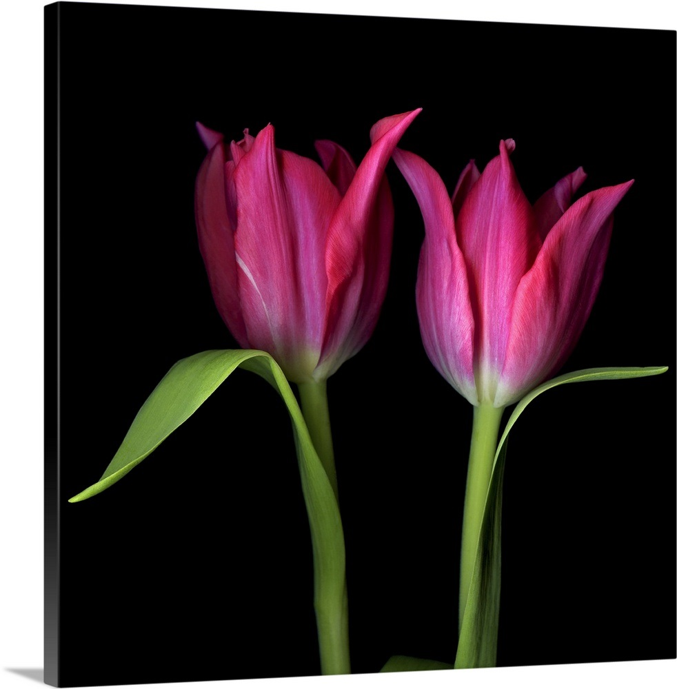 Pink Tulips Flowers Against Black Background. Wall Art