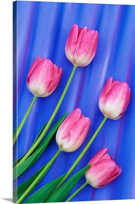 Pink Tulips With Blue Backdrop