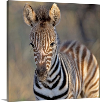 Plains zebra foal, Mkuze Game Reserve, KwaZulu-Natal Province, South Africa