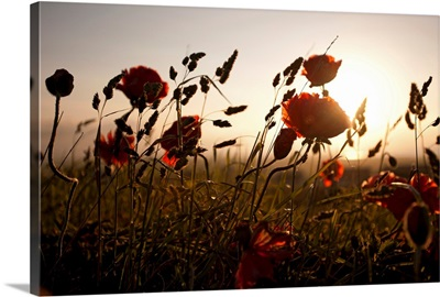 Poppies and grasses in natural setting.