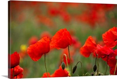 Poppies in field next to railway line near Hitchin.