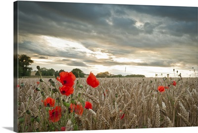 Poppies in wheat field with clouds