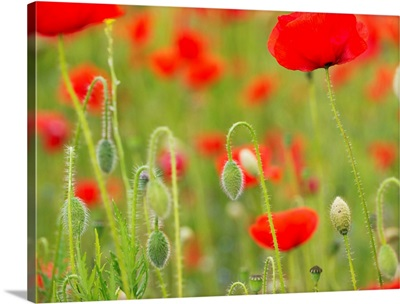 Poppies, Somme valley, France